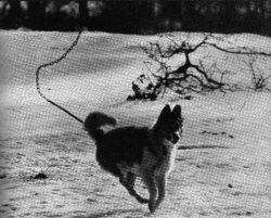 ◀ 1964년 한해에만 102곳의 개들이 감시하는 시설이 설치되었다. 대략 100미터 길이의 목줄을 단 개는 그 범위안에서 이리저리 쏘다닐 수 있었다. 취각이 예민한 영국종의 사냥개인 블러드 하운드(Bluthund)는 병사건 장교건 물도록 훈련받았다.